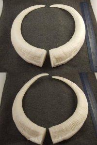 image horns-2-jpg