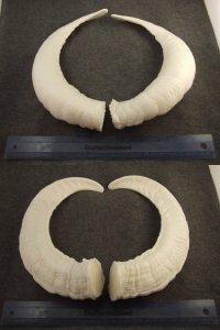 image horns-3-jpg