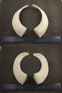 image horns-4-jpg