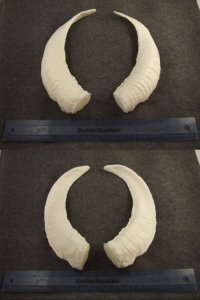 image horns-6-jpg
